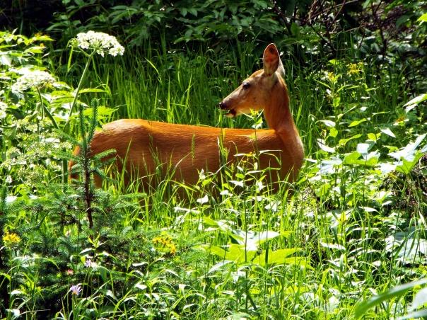 deer5