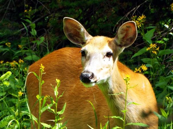 deer7