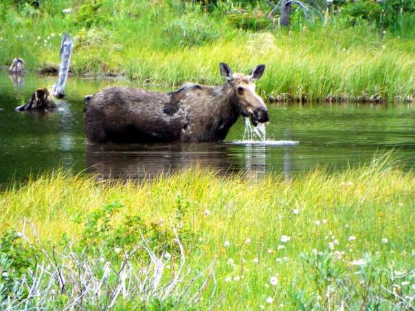 moose16