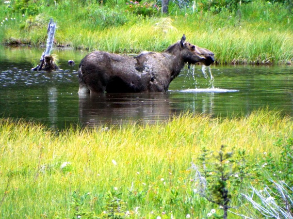 moose6