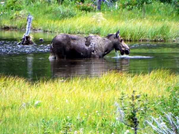 moose7