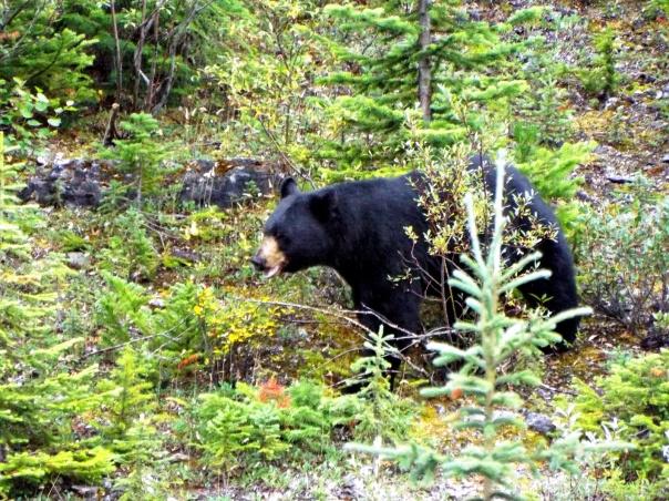 black bear1.JPG