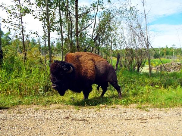wood bison10