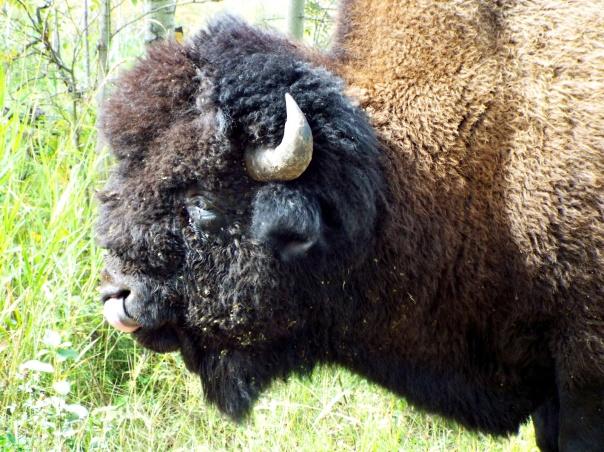 wood bison11