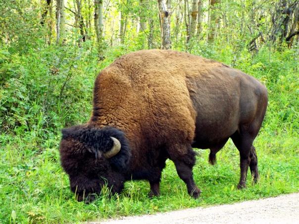 wood bison12