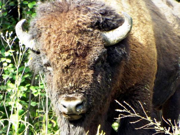 wood bison2