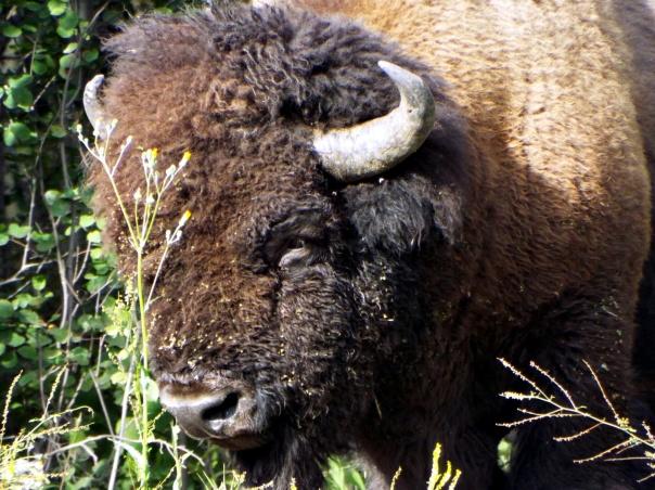 wood bison3