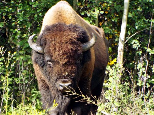 wood bison4