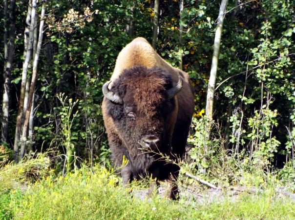 wood bison5