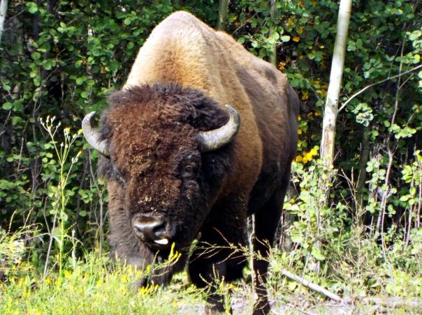 wood bison6