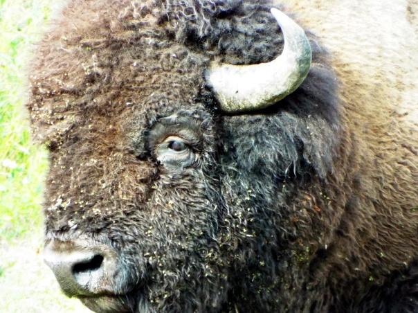 wood bison7