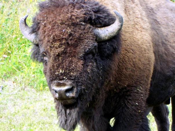 wood bison8