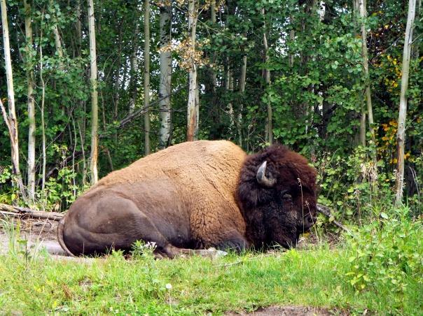 wood bison9