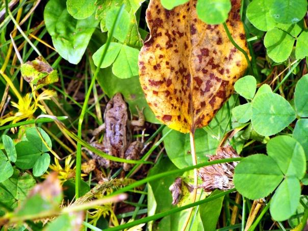woodfrog