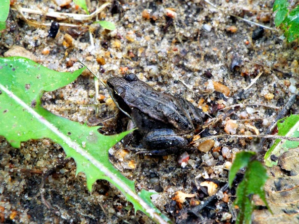 woodfrog2