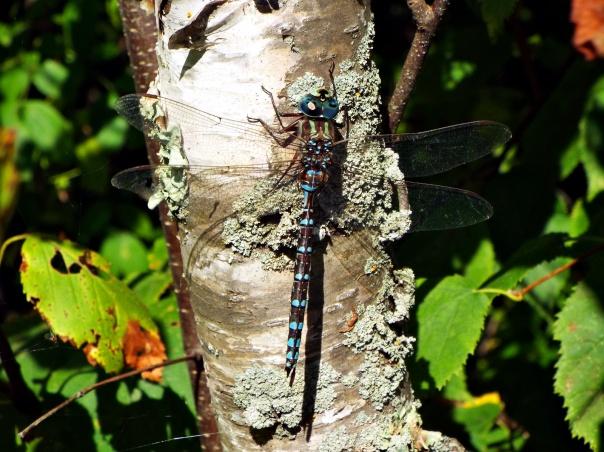 canada-darner-dragonfly-bemidji-state-park-2