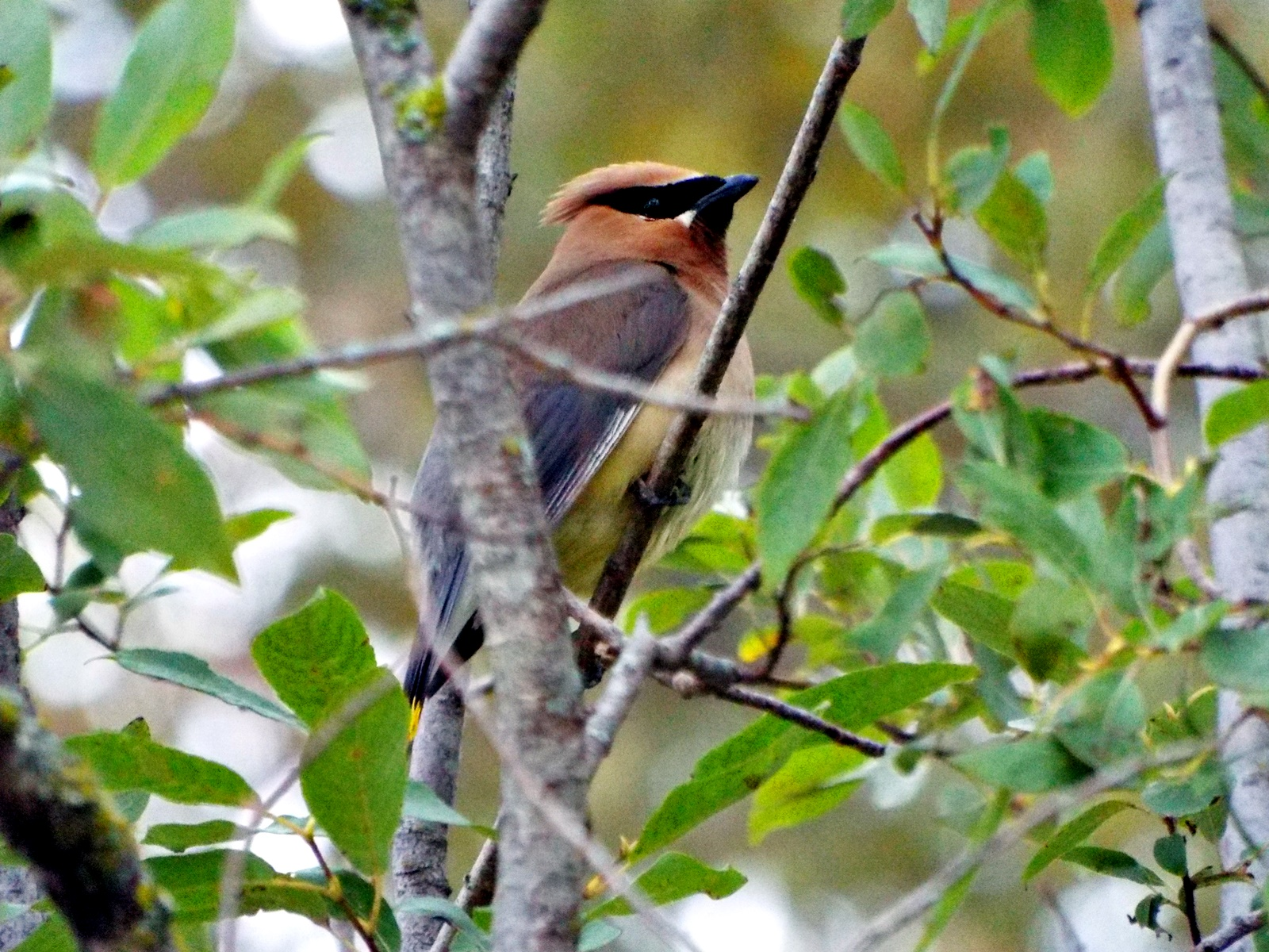 cedar-waxwing-or-bohemian-waxwing-due-to-yellow-on-tail