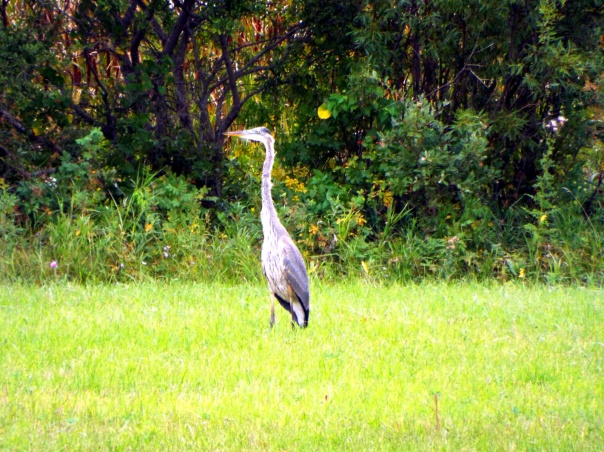 great-blue-heron-peace-garden