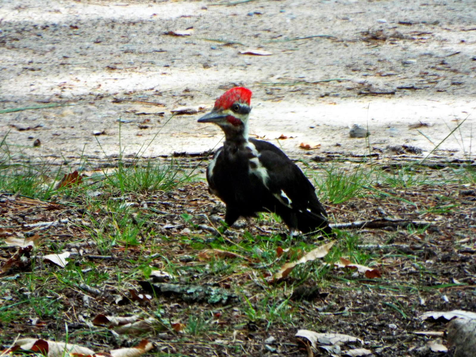 pileated-woodpecker-bemidji-state-park-3