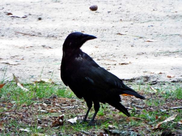raven-bemidji