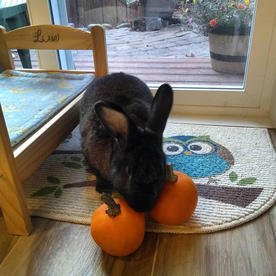 astrid owl pumpkin