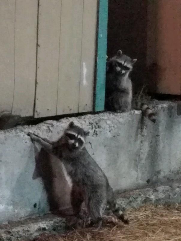 raccoons (2).jpg