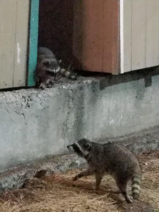 raccoons (3).jpg