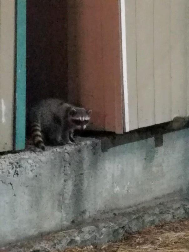 raccoons (4).jpg